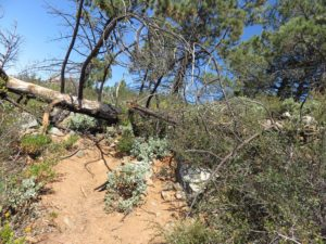 Downed tree along the use trail to the summit