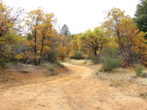Trees with Yellowing Leaves around a dirt road